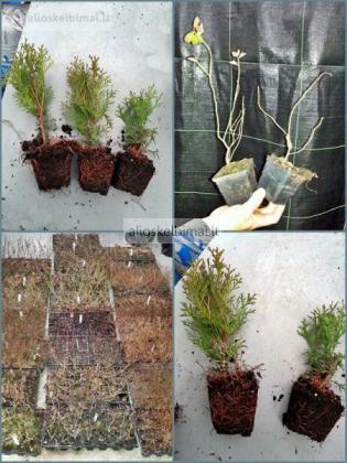 Parduodame įvairius sodinukus: tujos, šilauogės ir t.t.-alioskelbimai