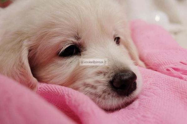 Auksaspalvio retriverio šuniukai-alioskelbimai