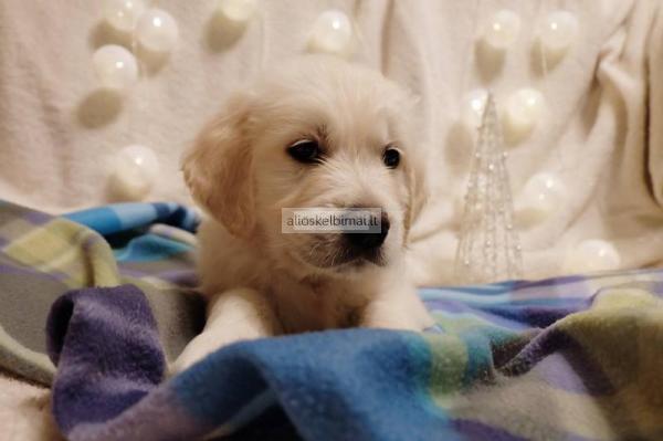 Auksaspalvio retriverio šuniukai
